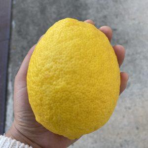 とびしま海道 大崎下島産ジャンボレモン