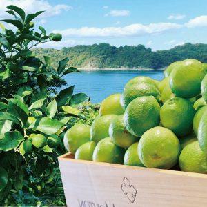 グリーンレモンが入荷!!広島県とびしま海道大長産で露地栽培